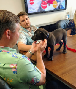 Ronald, the black Amstaff puppy standing on the conference table